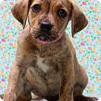 Adopt A Pet :: Sassy - Waldorf, MD