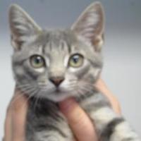 Domestic Shorthair/Domestic Shorthair Mix Cat for adoption in Robinson, Illinois - Goose