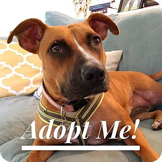 Boxer/Labrador Retriever Mix Dog for adoption in Citrus Heights, California - Mary Miley