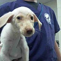 Adopt A Pet :: HARVEY - Conroe, TX