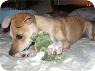 Fox Terrier (Toy)/Terrier (Unknown Type, Small) Mix Puppy for adoption in Scottsdale, Arizona - PJ