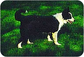 Border Collie Dog for adoption in Powell, Ohio - Breeze