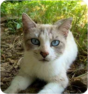 Siamese Cat for adoption in Nashville, Tennessee - Alaina- Adopted