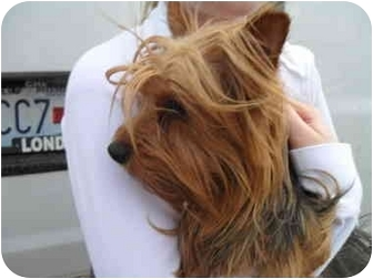 Yorkie, Yorkshire Terrier Dog for adoption in Lonedell, Missouri - Delilah