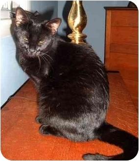 Domestic Shorthair Cat for adoption in Troy, Ohio - Tripod