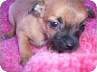 Chihuahua Mix Puppy for adoption in Albuquerque, New Mexico - Lancaster