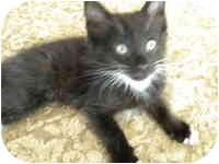 Domestic Mediumhair Kitten for adoption in Tampa, Florida - MacBeth