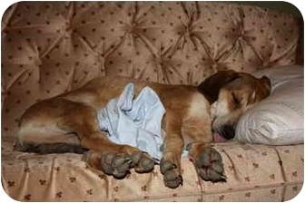 English (Redtick) Coonhound Dog for adoption in Buffalo, New York - Ellie: Loves kids, PUREBRED