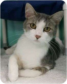 Domestic Shorthair Cat for adoption in Phoenix, Oregon - Misty