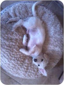 Terrier (Unknown Type, Small) Mix Dog for adoption in San Dimas, California - Dugan