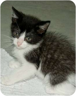Domestic Shorthair Kitten for adoption in Smithfield, North Carolina - Orka