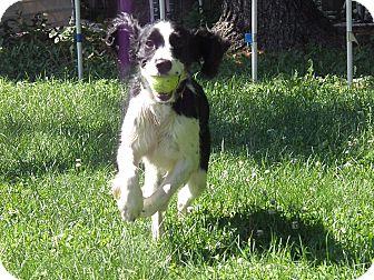 English Springer Spaniel Dog for adoption in Minneapolis, Minnesota - Jigs