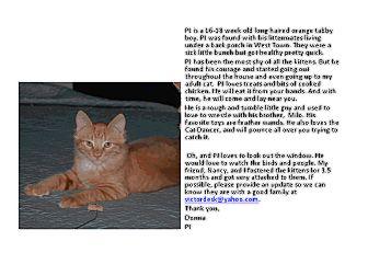 Domestic Longhair Kitten for adoption in Chicago, Illinois - PJ