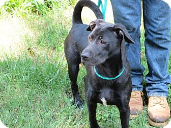 Labrador Retriever/Shar Pei Mix Dog for adoption in Pineville, North Carolina - Suzzie