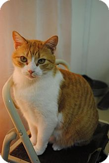 Domestic Shorthair Cat for adoption in Bay City, Michigan - Jamie
