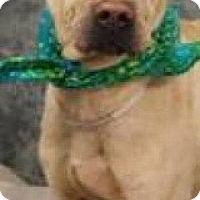 Adopt A Pet :: Pickles - North Wales, PA