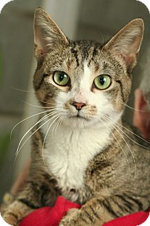 Domestic Shorthair Cat for adoption in Anderson, Indiana - Trooper