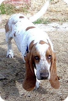 Basset Hound Dog for adoption in Grapevine, Texas - Arnold