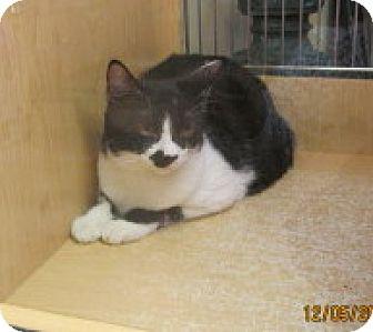 Domestic Shorthair Kitten for adoption in Phoenix, Arizona - Sylvester