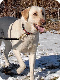 Labrador Retriever Mix Dog for adoption in Cincinnati, Ohio - Lonnie