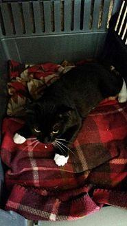 Domestic Shorthair Cat for adoption in Loganville, Georgia - Formal