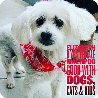 Maltese Mix Dog for adoption in Rancho Santa Fe, California - Elizabeth