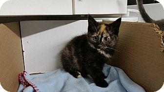 Domestic Shorthair Kitten for adoption in Irwin, Pennsylvania - Amber