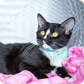 Domestic Shorthair Kitten for adoption in Montclair, California - Joshua