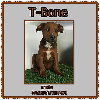 Mastiff/Shepherd (Unknown Type) Mix Puppy for adoption in Richmond, California - T Bone