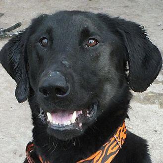 Labrador Retriever Mix Dog for adoption in Minneapolis, Minnesota - Stitch