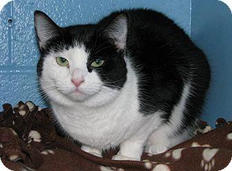 Domestic Shorthair Cat for adoption in New Kensington, Pennsylvania - Serri