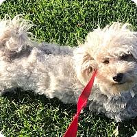 Adopt A Pet :: Blossom - Los Angeles, CA