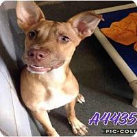 Adopt A Pet :: A443597 - San Antonio, TX