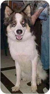 Border Collie/Alaskan Malamute Mix Dog for adoption in North Judson, Indiana - Harley