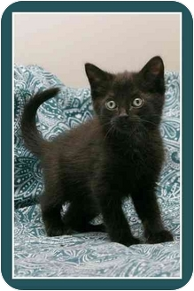 Domestic Shorthair Kitten for adoption in Sterling Heights, Michigan - Rory - ADOPTED!