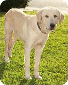 Labrador Retriever Mix Dog for adoption in West Los Angeles, California - Toby
