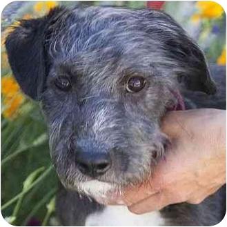 Schnauzer (Standard) Mix Puppy for adoption in Berkeley, California - Hammie