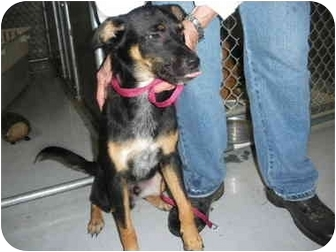 "Shepherd (Unknown Type) Mix Puppy for adoption in MARION, Virginia - ""Fritz"""