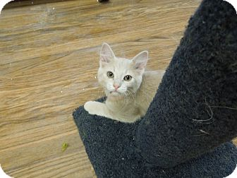 Domestic Shorthair Kitten for adoption in Medina, Ohio - Issy