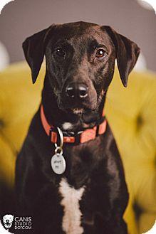 Pointer/Labrador Retriever Mix Dog for adoption in Portland, Oregon - Lilly