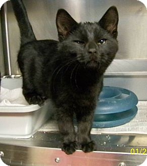 Domestic Shorthair Cat for adoption in Dover, Ohio - Bentley