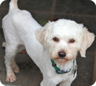 Cockapoo/Maltese Mix Dog for adoption in Norwalk, Connecticut - Ellis - adoption pending