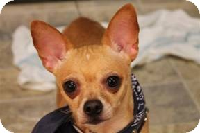 Chihuahua Dog for adoption in Mahopac, New York - Zia