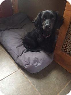 Cocker Spaniel/Dachshund Mix Dog for adoption in Freeport, New York - Ivy