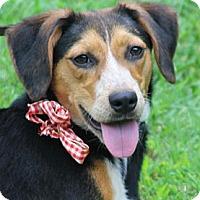 Adopt A Pet :: Daisy Mae - Harrisburgh, PA