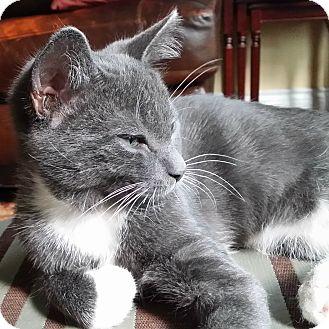 Domestic Shorthair Kitten for adoption in Toronto, Ontario - Pav