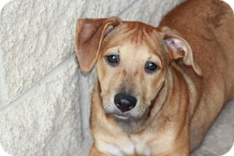 Dachshund Mix Dog for adoption in Norwalk, Connecticut - Paddy-Meet Him!!