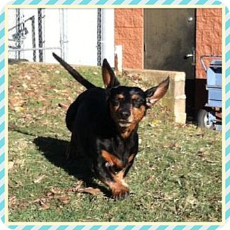 Dachshund Mix Dog for adoption in Rochester, New Hampshire - HUDSON