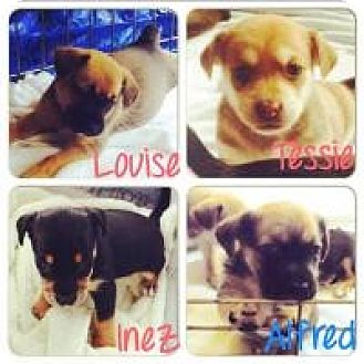 Rat Terrier Mix Puppy for adoption in Grand Bay, Alabama - Ines, Tessie, Louise, & Alfred
