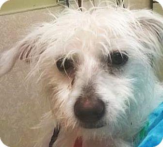 Terrier (Unknown Type, Small) Mix Dog for adoption in Spokane, Washington - Sweet Pea